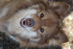 Finsk Lapphund Tara