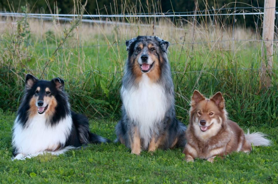 Collie, Aussie, Lapphund